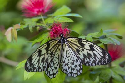 Rice Paper Butterfly, Butterfly Conservatory, Key West, Florida-Chuck Haney-Photographic Print