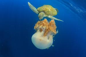 Green Sea Turtle Feeds on Large Pelagic Jellyfish by Rich Carey