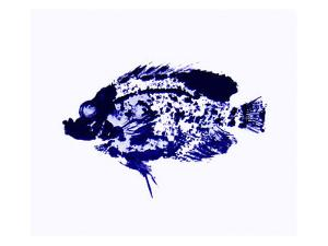 Blue Dapple Fish Print by Rich LaPenna