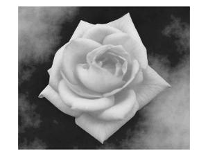 Gray Rose on Gray Background by Rich LaPenna