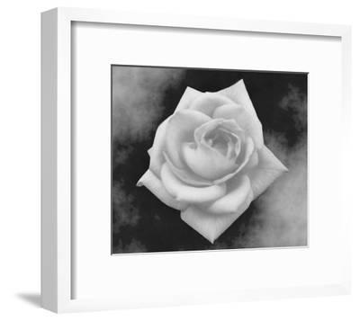 Gray Rose on Gray Background