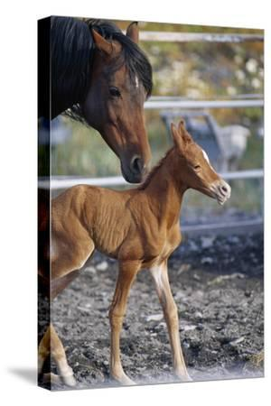A Mare Watches Over Her Newborn Colt
