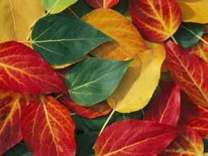 Array of Autumn Leaves by Rich Reid