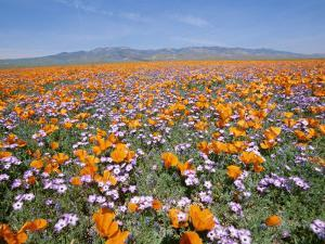 California Poppies and Other Wildflowers Fill a Scenic Landscape by Rich Reid