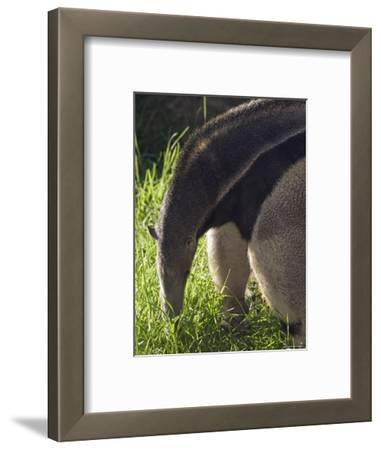 Captive Giant Anteater, Santa Barbara, California