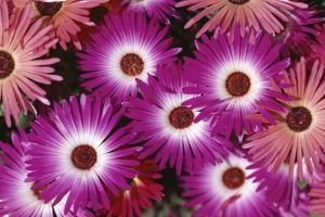 Close view of aster blooms (Asteraceae). by Rich Reid