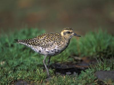 Closeup of a Pacific Golden-Plover, Hawaii by Rich Reid