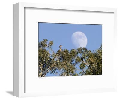 Cormorant in a Tree with a Moon Rising, Santa Barbara, California