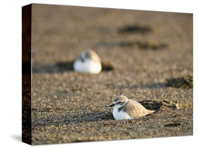 Endangered Western Snowy Plover on a Beach, California