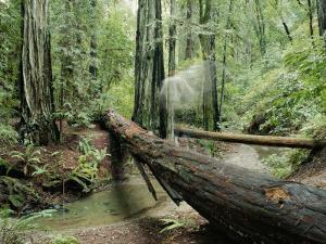Fallen Redwood Tree and Stream by Rich Reid