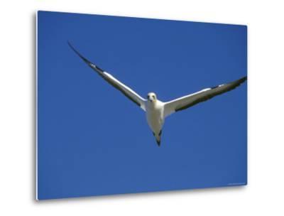 Flying Australian Gannet on Farwell Spit In
