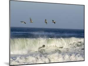Four Brown Pelicans Flying above the Surf, California by Rich Reid
