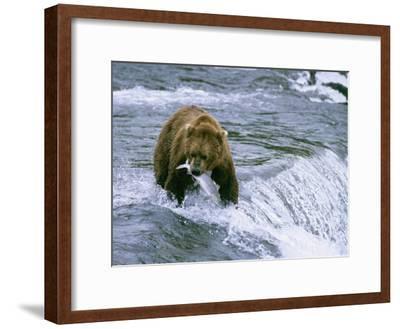 Grizzly Bear (Ursus Arctos) Fishing at Brook Falls, Katmai National Park, Alaska