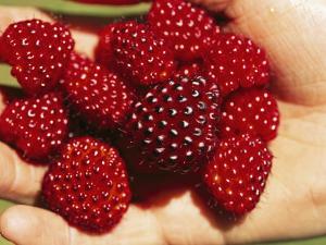 Handful of Salmonberries (Rubus Spectabilis) by Rich Reid
