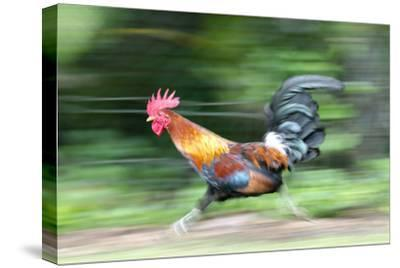 Motion Blur of a Wild Rooster at Hanalei Beach on the Na Pali Coast of Kauai, Hawaii