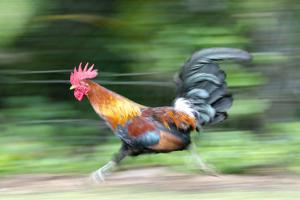 Motion Blur of a Wild Rooster at Hanalei Beach on the Na Pali Coast of Kauai, Hawaii by Rich Reid