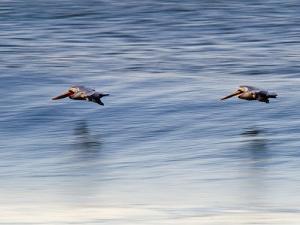 Pair of Brown Pelicans Flying at Sunrise by Rich Reid