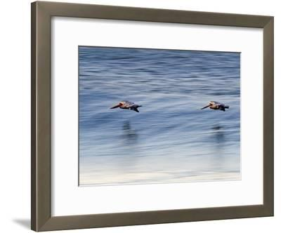 Pair of Brown Pelicans Flying at Sunrise