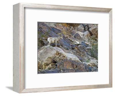 Portrait of a Desert Big Horn Sheep, California
