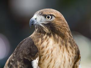 Recovering Captive Red-Tailed Hawk, California by Rich Reid