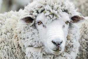 Sheep Ready to Be Shorn at Long Island Farm on the Falkland Island by Rich Reid