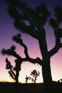 Silhouetted Joshua Trees at Sunset by Rich Reid