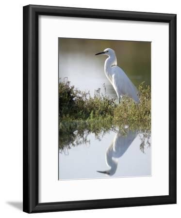 Snowy Egret (Egretta Thula) in the Los Cerritos Wetlands