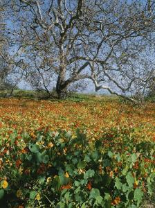 Sycamore Tree with Nasturtiums Growing at Its Base by Rich Reid