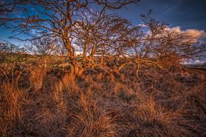 Dormant Kiawe Tree at End of Dry Season, Along Forest Reserve Road to Kamakou by Richard A Cooke III