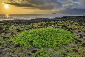 Sunrise Naupaka Native Plant, Shoreline View Along Kalawao Looking to North Shore Cliffs by Richard A Cooke III