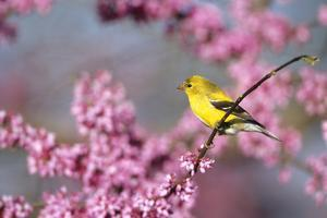American Goldfinch Female in Eastern Redbud, Marion, Il by Richard and Susan Day