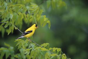 American Goldfinch Male in Common Hackberry Tree, Marion, Il by Richard and Susan Day