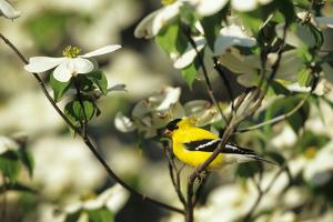 American Goldfinch Male in Flowering Dogwood Tree, Marion, Il by Richard and Susan Day