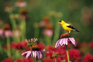 American Goldfinch Male on Purple Coneflower, in Flower Garden, Marion County, Illinois by Richard and Susan Day
