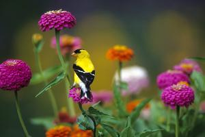 American Goldfinch Male on Zinnias in Garden, Marion, Il by Richard and Susan Day