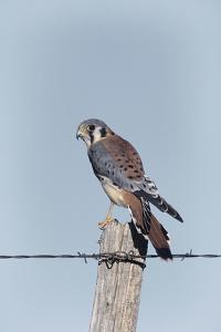 American Kestrel Male on Fence Post, Colorado by Richard and Susan Day