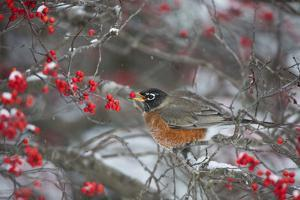 American Robin Eating Berry in Common Winterberry Bush in Winter, Marion County, Illinois by Richard and Susan Day