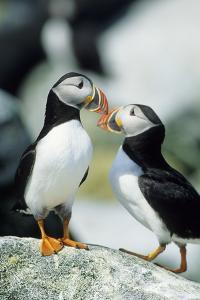 Atlantic Puffins, Machias Seal Island, Maine by Richard and Susan Day