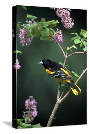 Baltimore Oriole Male on Lilac Bush, Marion Co, Il