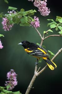Baltimore Oriole Male on Lilac Bush, Marion Co, Il by Richard and Susan Day