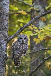Barred Owl in Fall, Alger County, Mi by Richard and Susan Day