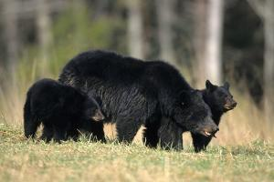 Black Bear Female with Cubs Two, Great Smoky Mountains National Park, Tennessee by Richard and Susan Day