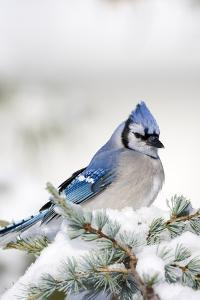 Blue Jay in Blue Atlas Cedar in Winter, Marion Co. IL by Richard and Susan Day
