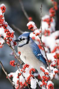 Blue Jay in Common Winterberry in Winter, Marion Co. IL by Richard and Susan Day