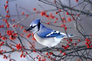 Blue Jay in Winterberry Bush in Winter Marion County, Illinois by Richard and Susan Day