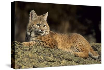 Bobcat Laying Down, Montana