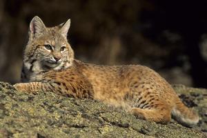 Bobcat Laying Down, Montana by Richard and Susan Day