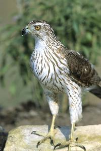 Cooper's Hawk Immature, Starr County, Texas by Richard and Susan Day
