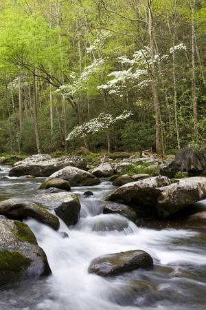 Dogwood Trees in Spring Along Little River, Great Smoky Mountains National Park, Tennessee