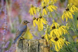 Eastern Bluebird Female on Fence Post Near Flower Garden, Marion, Il by Richard and Susan Day